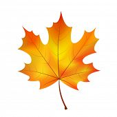 stock photo of canada maple leaf  - autumn maple leaf on a white background - JPG