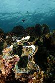 almeja gigante, Tridacna gigasbivalve molusco
