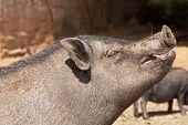 Potbelly Pig