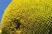 Sunflower seeds petals and stamens macro