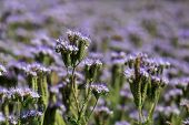 Field Of Phacelia Tanacetifolia Or Lacy Phacelia