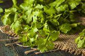 Organic Raw Green Cilantro