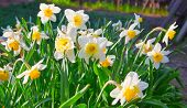 Spring Time: Lush Blooming Daffodils