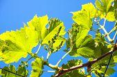 Fresh Tip Of Grapevine Branch