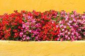 picture of begonias  - Beautiful red Begonia flowers Orange background texture  - JPG