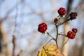Fruits of briar rose