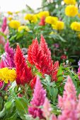 Plumped Celosia Flower In The Garden