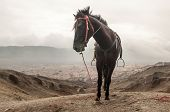 foto of bromo  - Horse of Mount Bromo Volcano East Java Indonesia - JPG