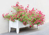 pic of petunia  - Beautiful Red Petunia flowers in wooden pot - JPG