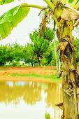 image of banana tree  - Green organic cultivated bananas bunch on a tree in my backyard - JPG
