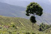Tree and Tea Plantation