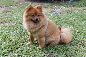 picture of chiwawa  - small dog chiwawa resting in the park