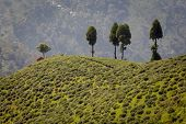stock photo of darjeeling  - View over famous Tea plantation Darjeeling India - JPG