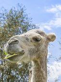 Portrait of a camel eating (kind Camelius)