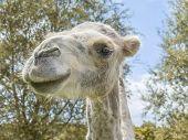 Portrait of a female camel (kind Camelius)