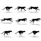 image of cheetah  - footage of the running cheetah on a white background - JPG