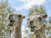 Portrait of a couple of camels (kind Camelius)