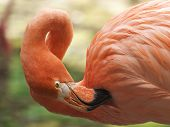 Close-up of flamingo cleaning its plumage