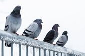 picture of sleet  - Pigeons on a fence full of sleet and ice - JPG