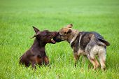 Doberman And Shepherd Puppys Playing On The Grass