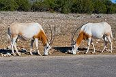 Two Scimitar Oryx Animals.