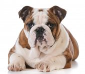 english bulldog puppy laying down isolated on white background - 5 months old