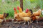 picture of grass bird  - Several brown chicken on a background of black soil and green grass in the chicken coop with a grid - JPG