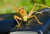 Grasshopper On Electronic Flash