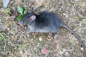 stock photo of rats  - liitle fuzz gray rat lay on the ground - JPG