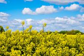 image of rape-seed  - Rape seed field set against the blue cloudy sky - JPG