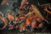 picture of fish pond  - Plenty of colorful Koi fish in transparent water of a pond - JPG