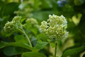 pic of hydrangea  - Young hydrangea blooms against a lush green foliage background - JPG