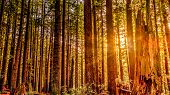 image of redwood forest  - A redwood forest in Northern California - JPG