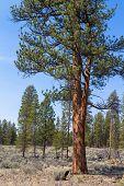 picture of pinus  - A beautiful ponerosa pine  - JPG