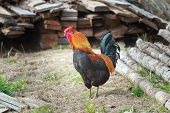 stock photo of roosters  - Adult multicolor rooster is standing on farmyard - JPG