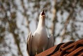 image of scream  - a common seagull on a roof screaming out loud - JPG