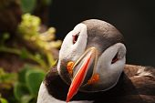 Bold, Curious Puffin