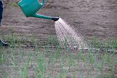 stock photo of spray can  - Close up of water can spraying water on young onion in vegetable garden - JPG