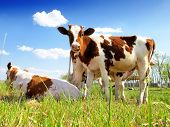 picture of calves  - calves in the meadow - JPG