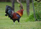 stock photo of rooster  - Beautiful free range rooster in an outdoor setting - JPG