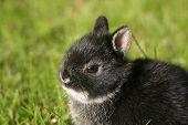 Netherland Dwarf Rabbit I