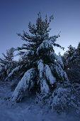 Natures Christmas Tree