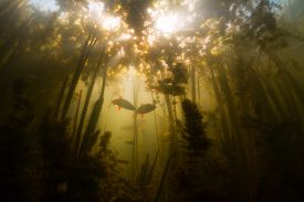 picture of fresh water fish  - Fish in the fresh water pond with poor visibility - JPG
