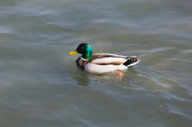 image of male mallard  - One Male Mallard Duck Standing at the Sun in the Water - JPG
