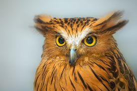 image of owl eyes  - Buffy Fish Owl portrait, close up serious look of yellow eyes