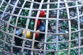 image of chicken-wire  - Chicken statue was kept in a locked bamboo brown - JPG