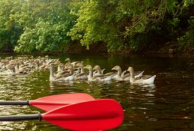 foto of kayak  - Two red paddles are lying on kayak. Kayaking on a river. ducks in front