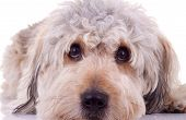 sad eyes of a bearded collie