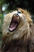 African Lion 01