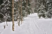 Winter Forest. Ski-Track